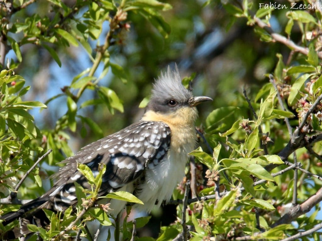 Great spotted cuckoo ©F.Zecchino Birding Languedoc