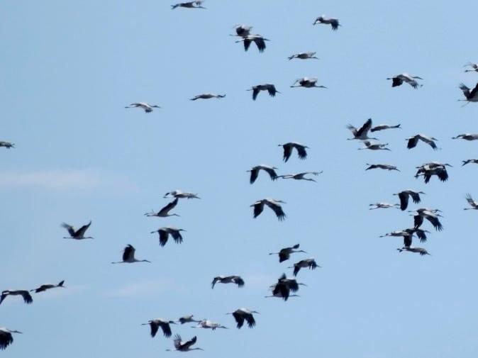 White stork migration ©K.Martorell