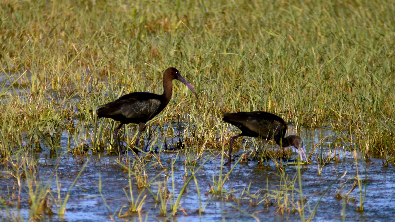 Glossy ibis - Birding Languedoc ©KMartorell