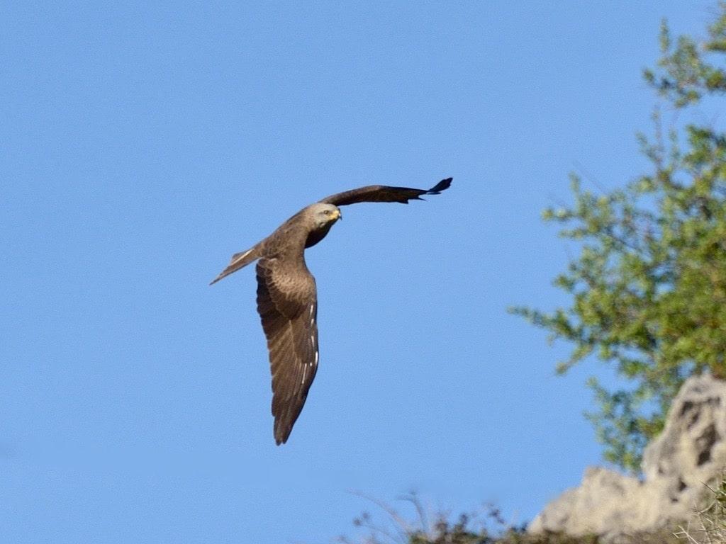 Black kite ©GOlioso