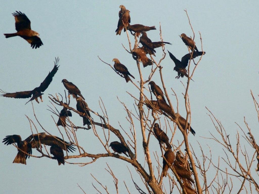 Black kites ©EvdKerckhove