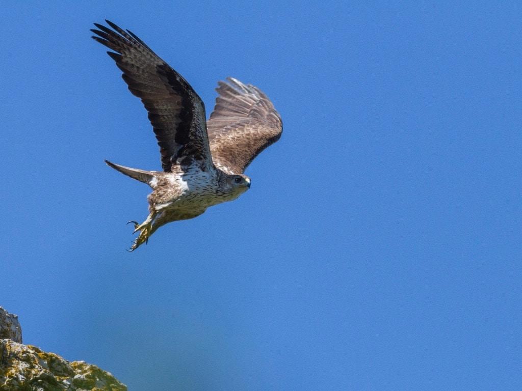 Bonelli's eagle ©PGourdon - Birding Languedoc