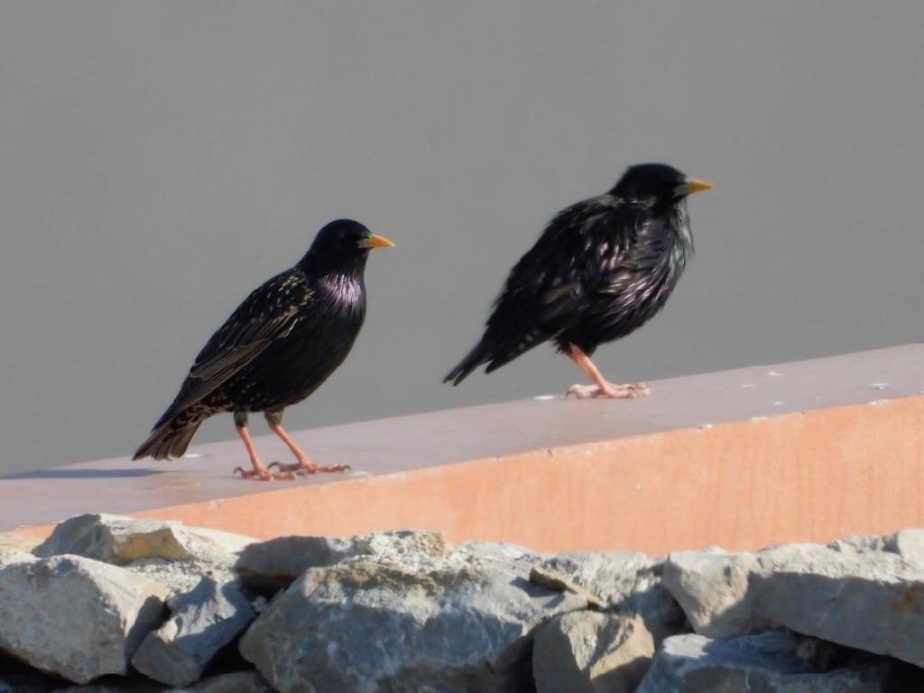 Common and Spotless starlings ©JMountjoy