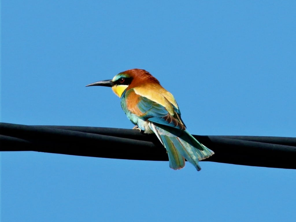 European bee-eater ©FZecchino