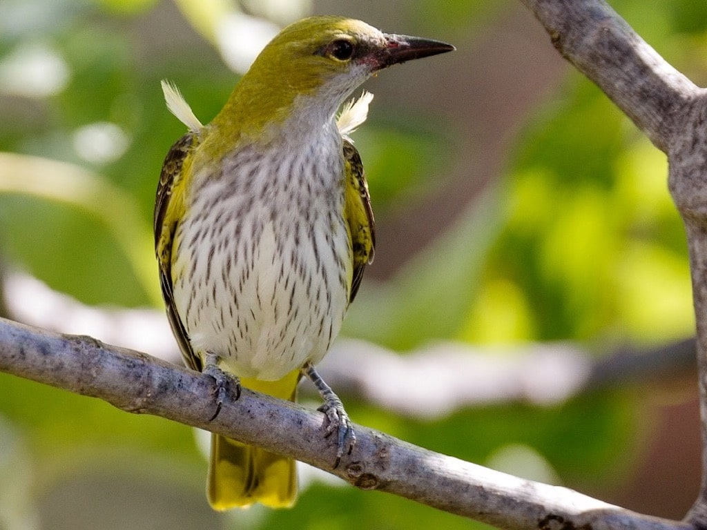 Golden oriole female ©P.Gourdon