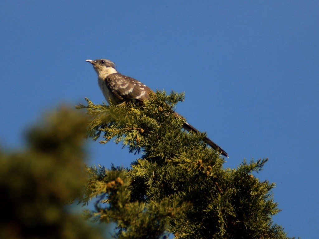 Great spotted cuckoo ©KMartorell