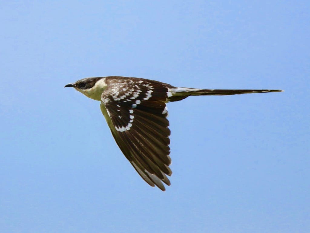 Great spotted cuckoo in flight ©FZecchino