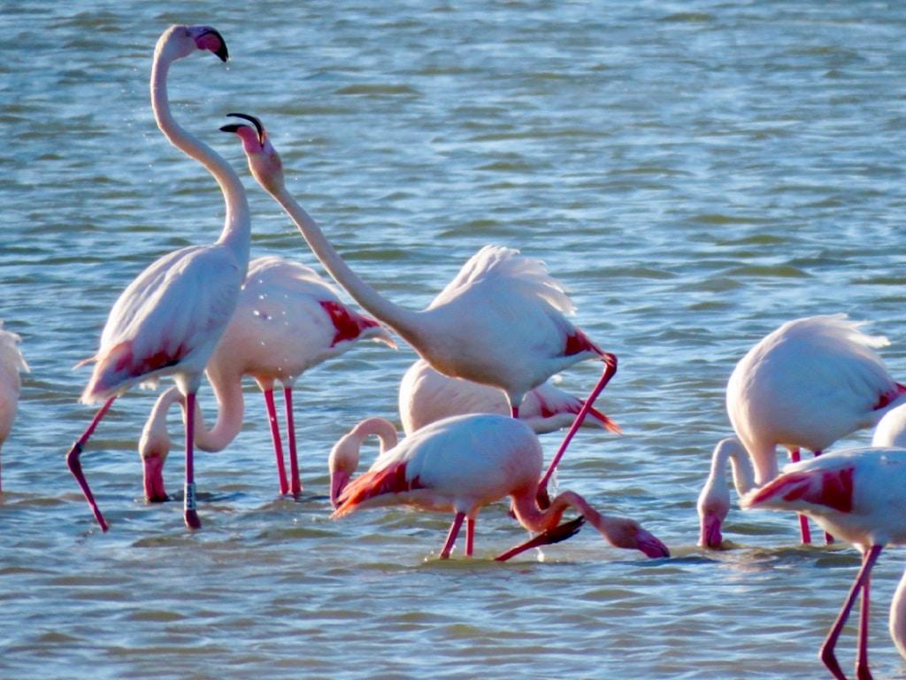 Greater flamingo group ©P.Benson