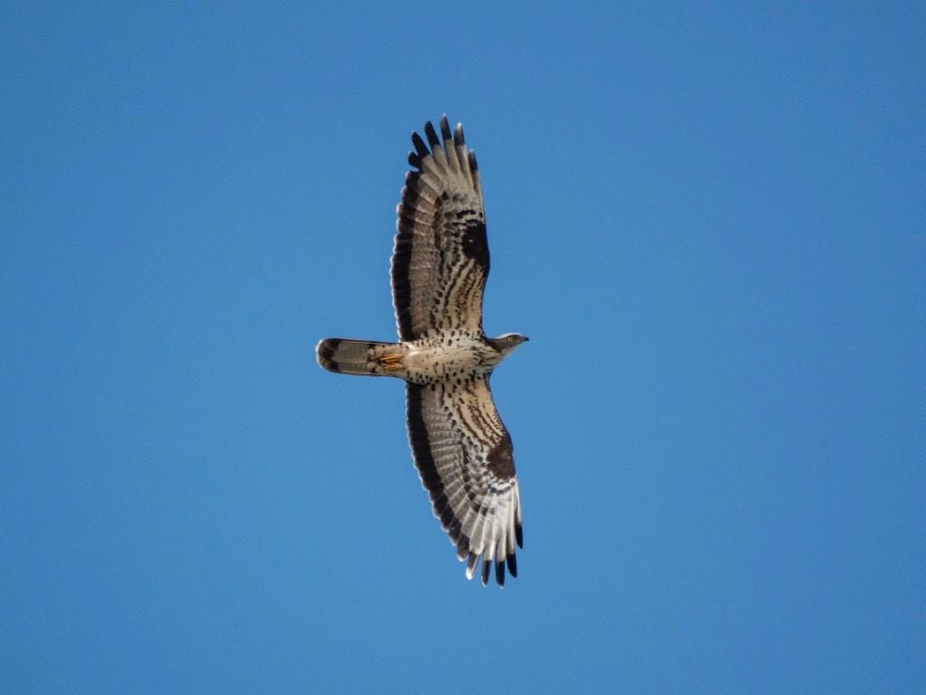 Honey buzzard ©A.Hall