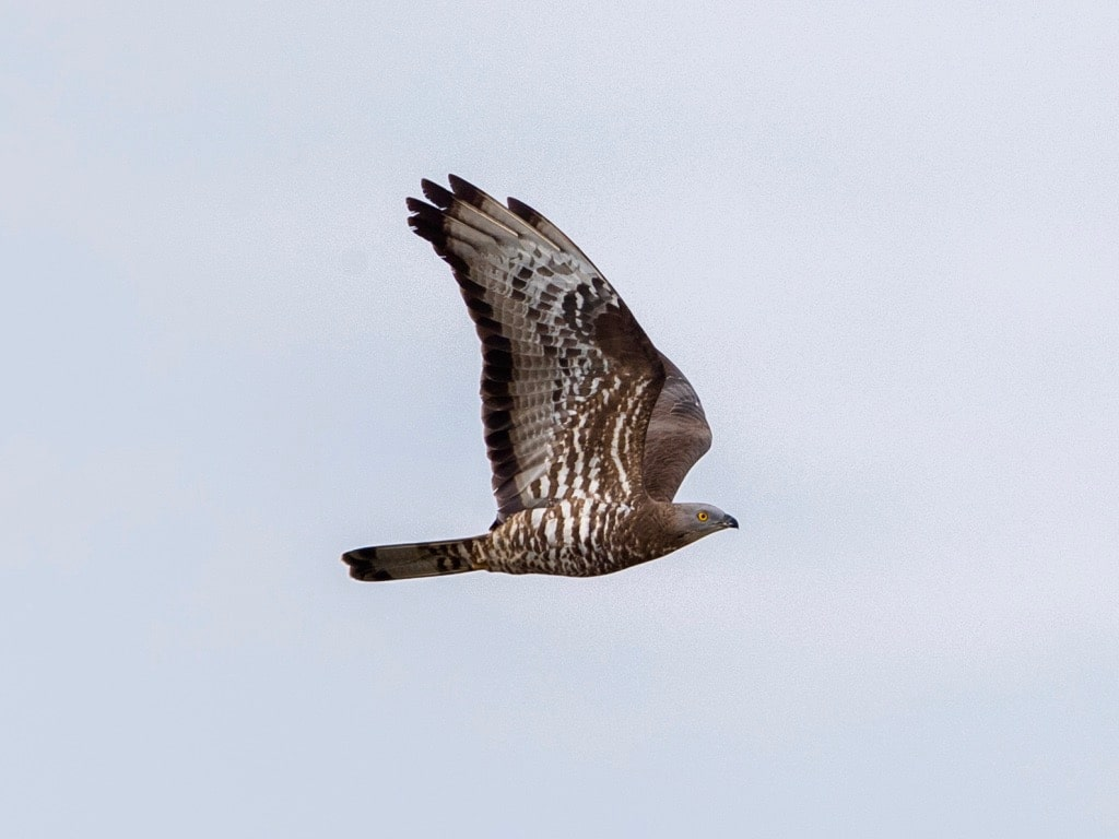 Honey buzzard 2 ©RMartin