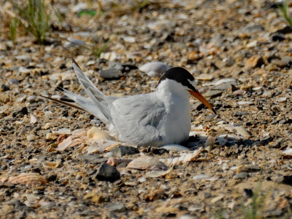 Little tern on nest ©GOlioso
