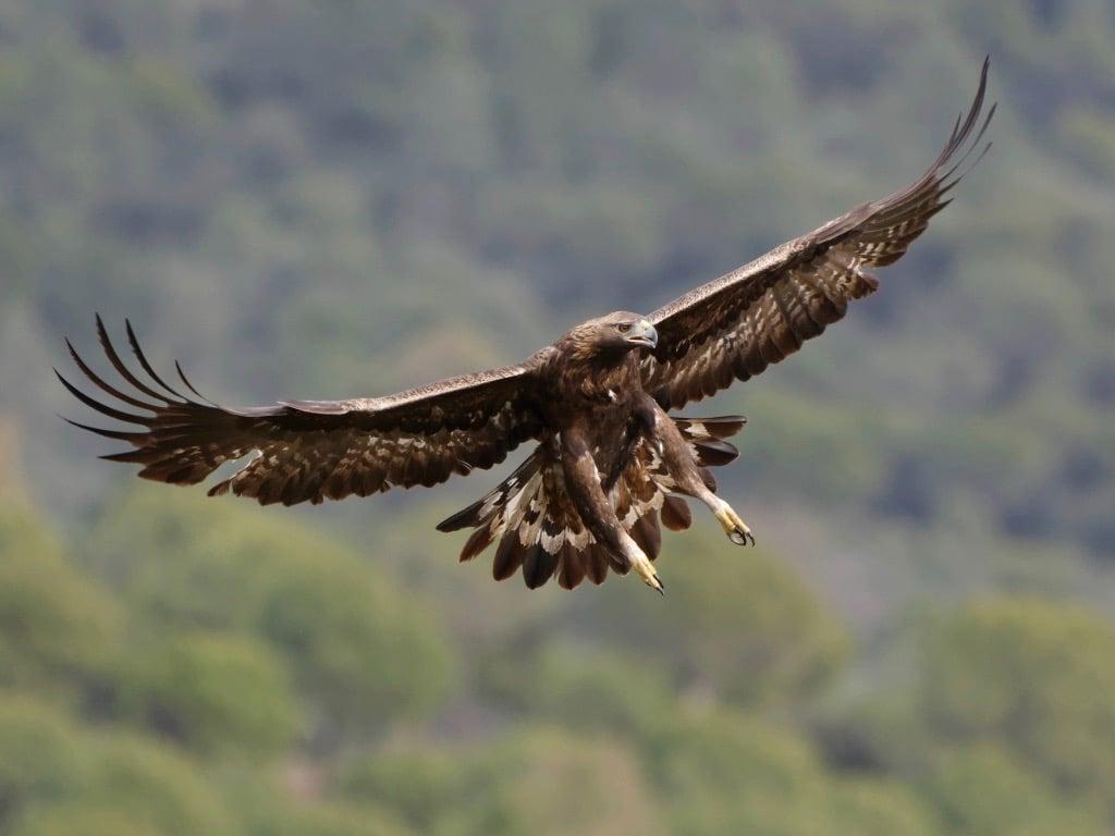 Golden eagle ©ALabetaa