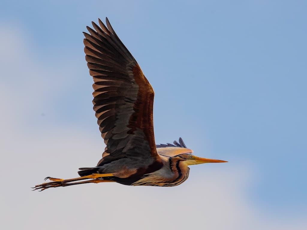 Purple heron ©R.Martin
