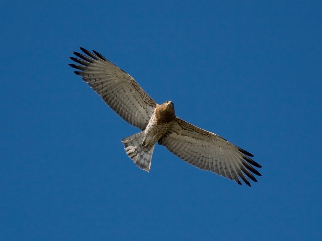 Short-toed eagle ©All rights reserved
