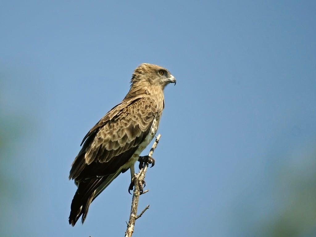 Short toed eagle ©JLaurens