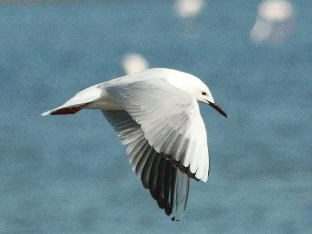 Slender-billed gull ©FZecchino