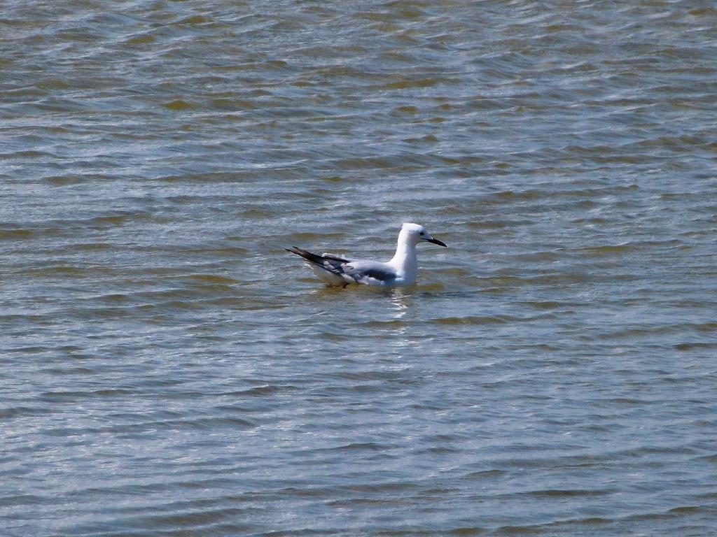 Slender-billed gull ©JJalabert 2
