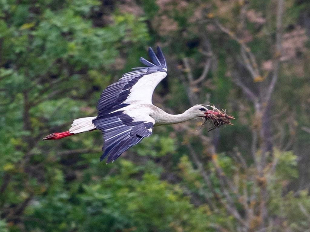White stork nesting ©RMartin