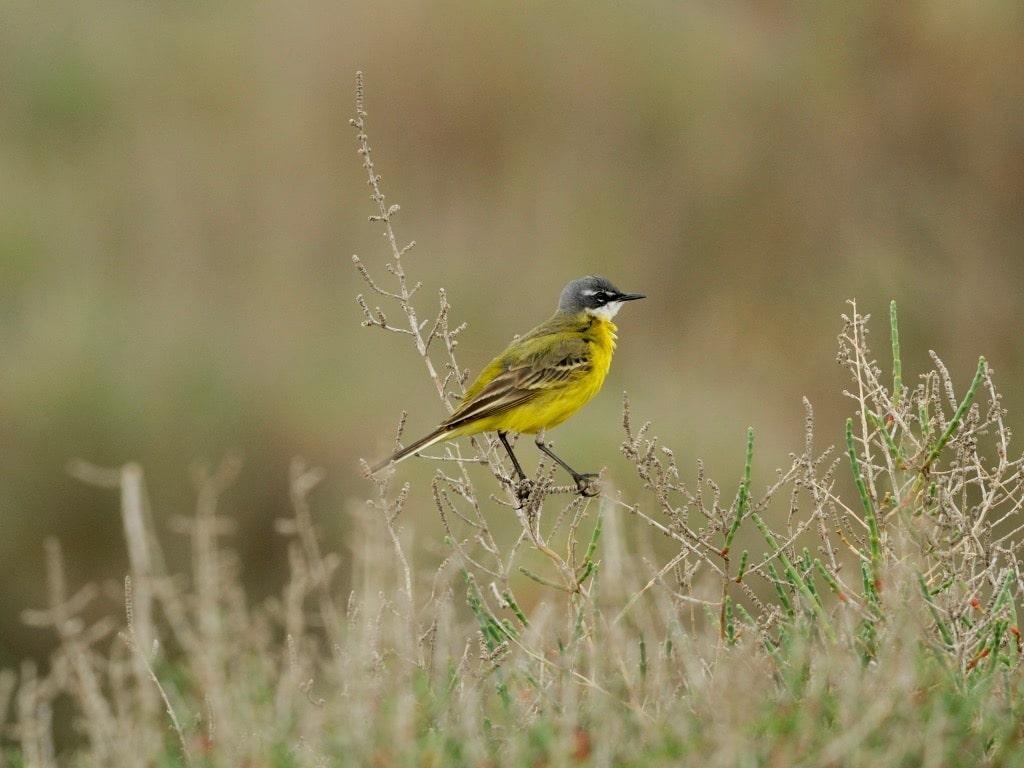 Yellow wagtail ©CRU -GOR