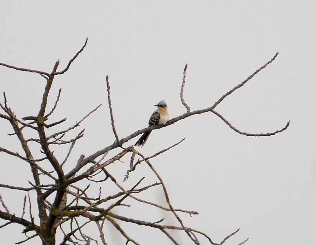 Great spotted cuckoo ©KMartorell | Birding Languedoc