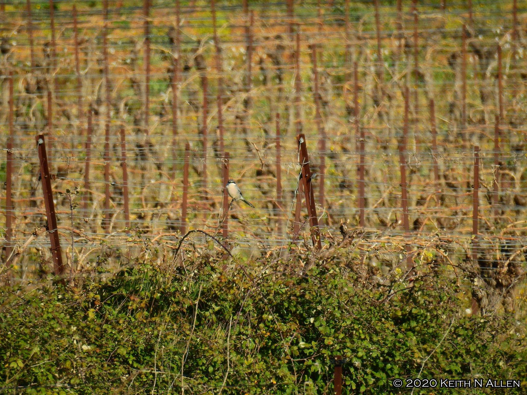 Iberian grey shrike ©KAllen | Birding Languedoc