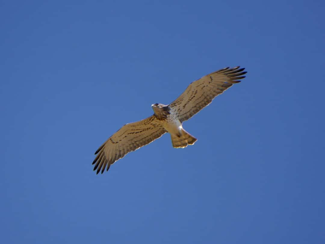 Short-toed eagle ©KMartorell