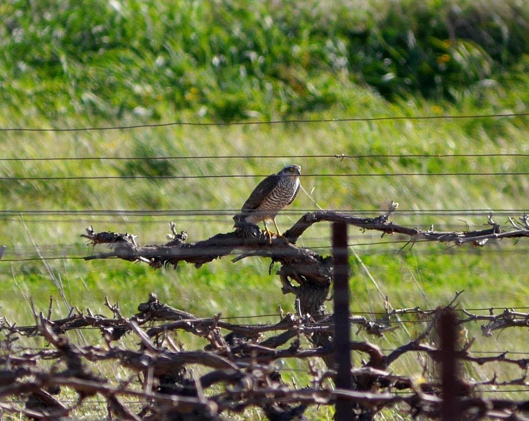 Sparrowhawk ©KMartorell | Birding Languedoc