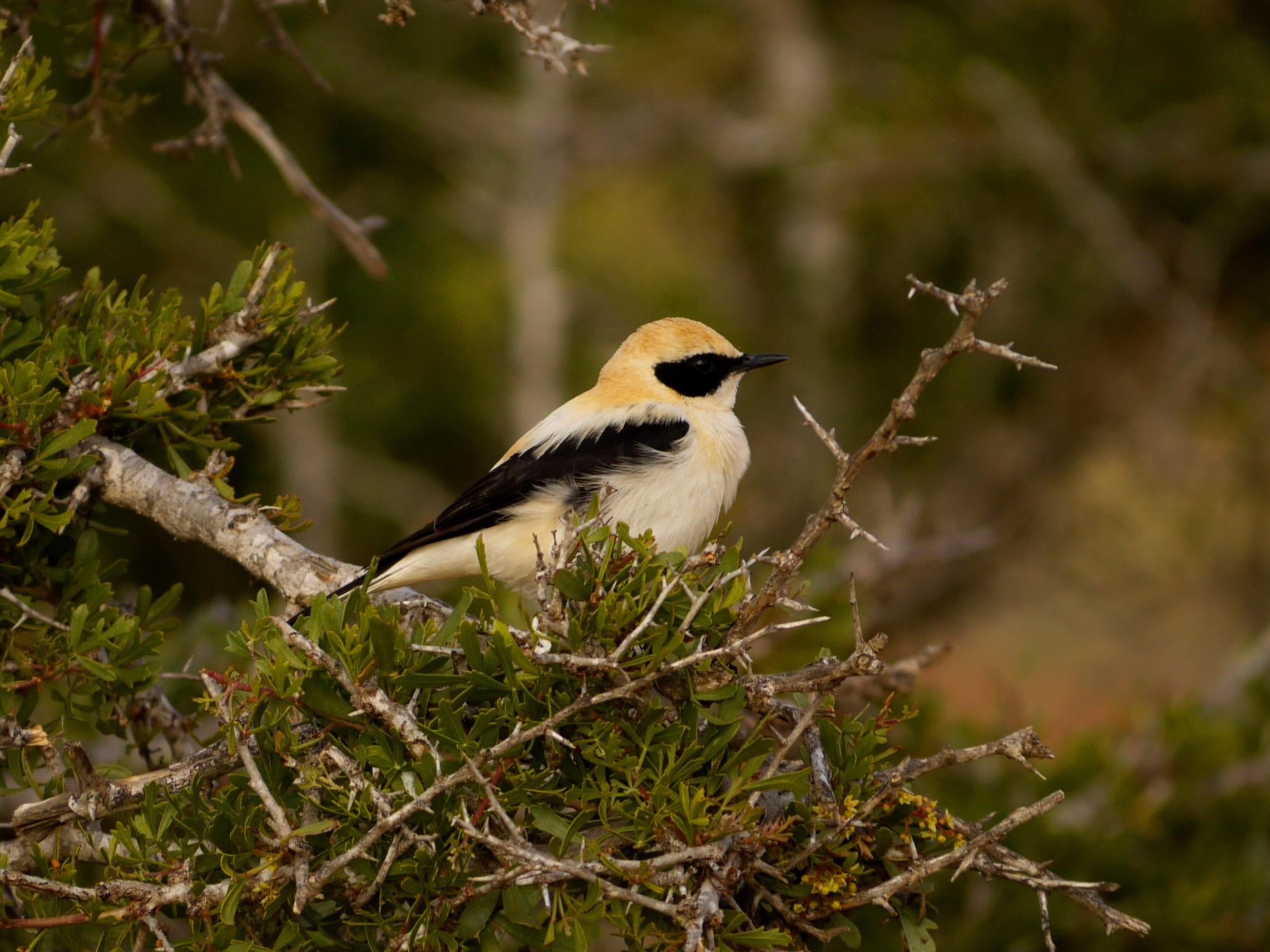 Black-eared wheatear -©K.Martorell