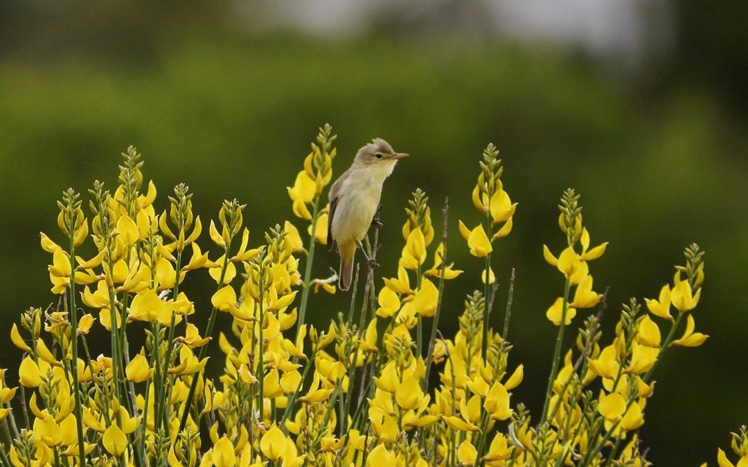 Melodious warbler on Spanish broom ©KMartorell