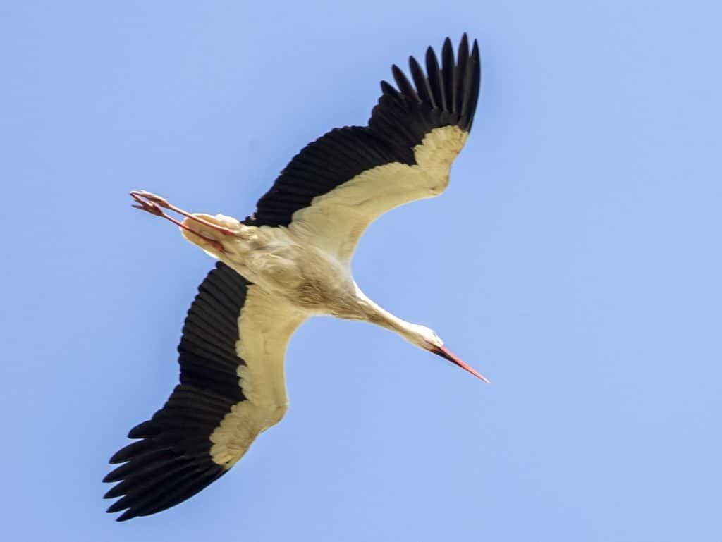 Birds - White-stork-©R.Martin.jpg